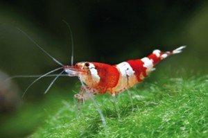 SHRIMPS31 élevage de crevettes d'eau douce crystal-red_frontal1-300x199